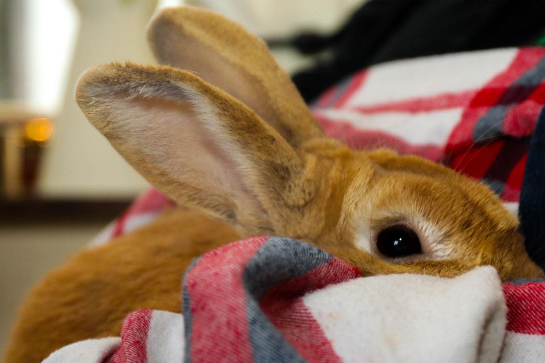 One of Home Safari's pet rabbits.