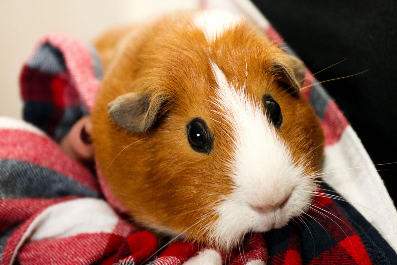 One of Home Safari's pet guinea pigs.